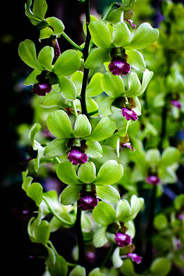 Photograph - Dendrobium Orchid Singapore Flower by Donald Chen