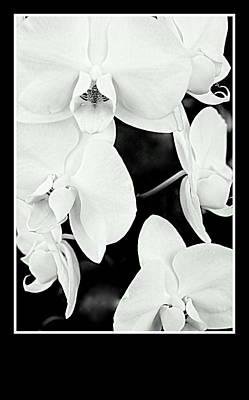 Dendrobium  Phalenopsis  Orchids Black N White Art Print by Rosemarie E Seppala