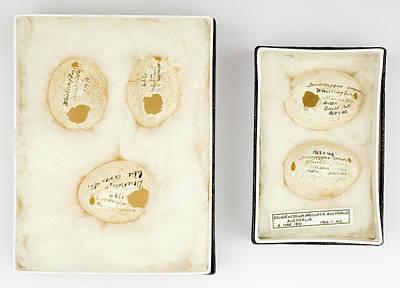 Gilbert Photograph - Dendrocygna Arcuata Australia Eggs by Natural History Museum, London