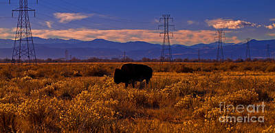 Photograph - Denver Bison by Barbara Schultheis
