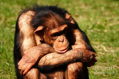 Photograph - Depressed Chimpanzee  by Nick  Biemans