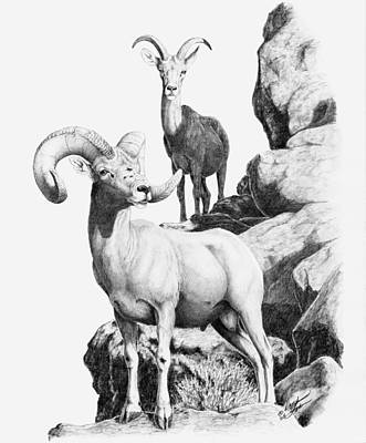 Drawing - Desert Bighorns by Darcy Tate
