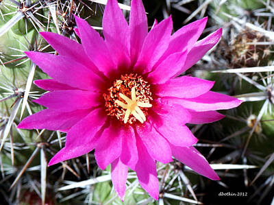 Photograph - Desert Bloom by Dick Botkin