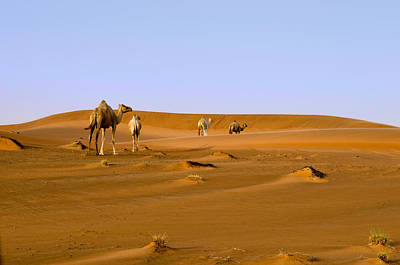 Photograph - Desert Camels by Mick House