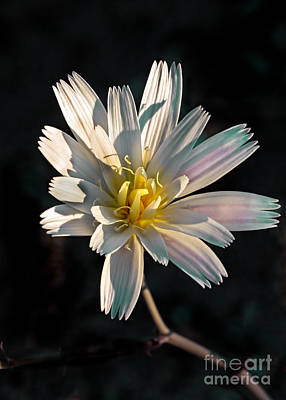 Desert Chicory Art Print