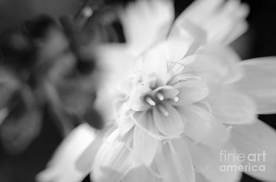 Photograph - Desert-chicory by Tamara Becker