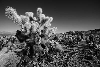 Joshua Tree Np Photograph - Desert Cholla by Peter Tellone