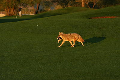 Wolve Photograph - Desert Coyote   by James Williams