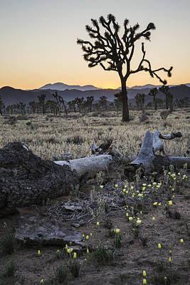 Photograph - Desert Dandelions And Joshua Tree by Lee Kirchhevel