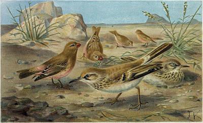 Finch Drawing - Desert Finch And Desert Lark by English School