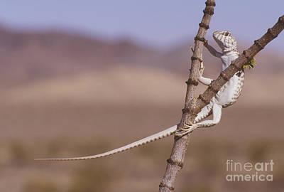 Photograph - Desert Iguana by Dan Suzio