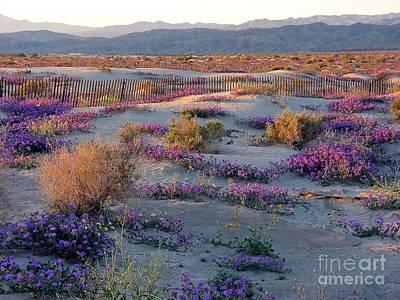 Photograph - Desert In Bloom by Phyllis Kaltenbach
