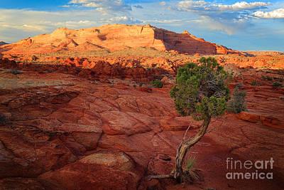 Desert Juniper Art Print by Inge Johnsson
