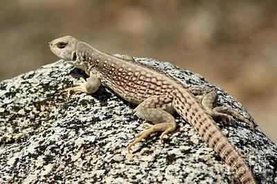 Photograph - Desert Lizard by Frank Townsley