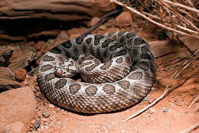 Rattlesnake Photograph - Desert Massasauga Rattlesnake by Susan Degginger