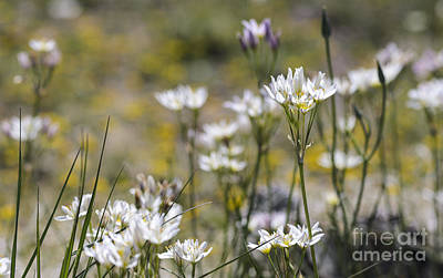 Photograph - Desert Onion Wildflowers by Tamara Becker