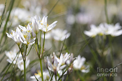 Photograph - Desert Onion Wildflowers II by Tamara Becker