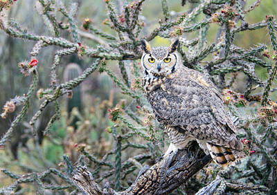 Photograph - Desert Owl by Barbara Manis