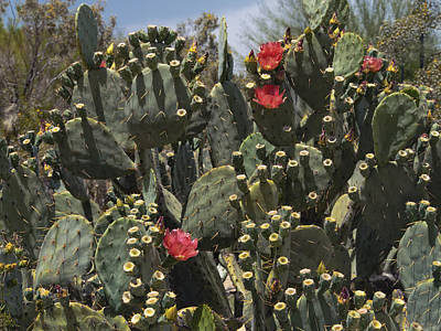 Photograph - Desert Prickly Pear Cactus by Marianne Campolongo
