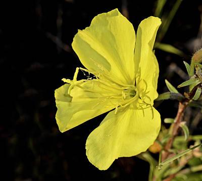 Desert Primrose Original