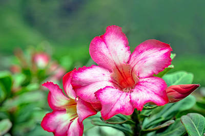 Photograph - Desert Rose At Kualoa by Dan McManus