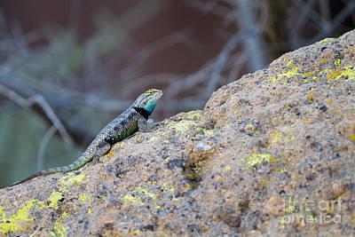 Desert Spiny Lizard Art Print