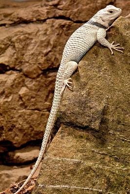 Desert Spiny Lizard, Sceloporus Art Print