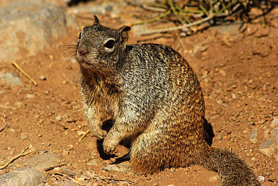 Photograph - Desert Squirrel by Daniel Woodrum
