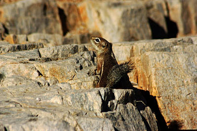 Photograph - Desert Squirrel No.2 by Daniel Woodrum