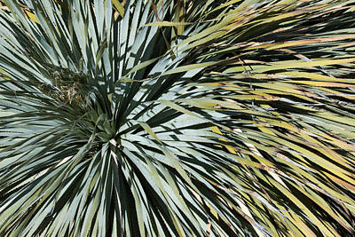 Photograph - Desert Yucca by Avian Resources