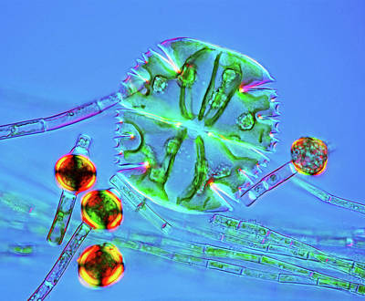 Unicellular Photograph - Desmids And Green Algae by Marek Mis