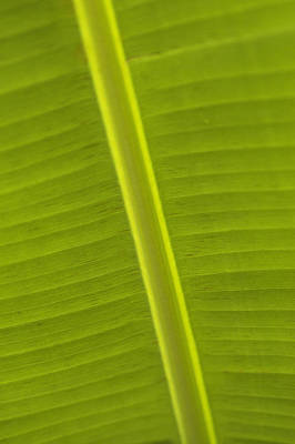 Detail Of Banana Leaf, Blue Mountains Art Print by Ian Cumming