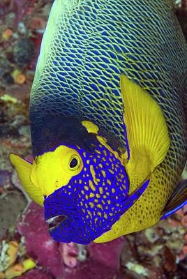 Part Of Photograph - Detail Of Head Of Angelfish, Raja Ampat by Jaynes Gallery