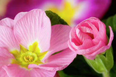Pink Primroses Photograph - Detail Of Primrose Blossoms by Jaynes Gallery