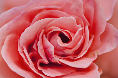 Simple Beauty In Colors Photograph - Detail Of Rose Flower Marrakech, Morocco by Ian Cumming