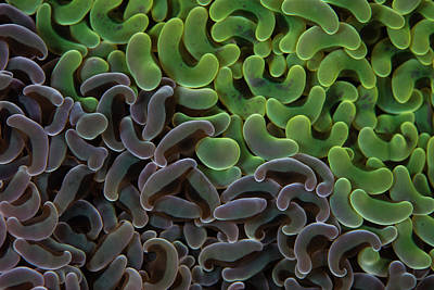 Photograph - Detail Of Two Colonies Of Anchor Coral by Ethan Daniels