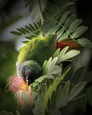 Photograph - Determined Tricolored Parrot Finch by Penny Lisowski