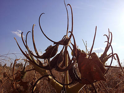 Devils Claw Photograph - Devil's Claw Seed Pods - Assail The Sky by David Smith