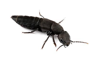 Devil's Coach Horse Beetle Art Print