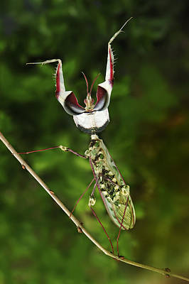 Animals And Insects Photograph - Devils Praying Mantis In Defensive by Thomas Marent