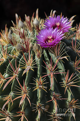 Photograph - Devil's Tongue Cactus by Tamara Becker