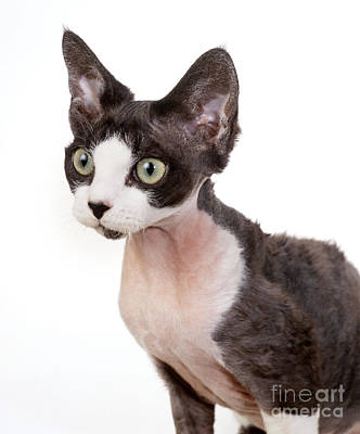 Devon Rex Cat Photograph - Devon Rex Cat by John Daniels