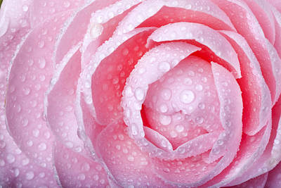 Robert Jensen Photograph - Dew Covered Camellia by Robert Jensen