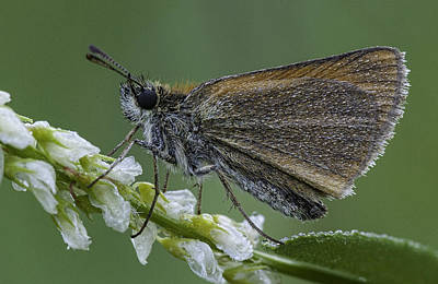 Photograph - Dew Covered Skipper by Jim Zablotny