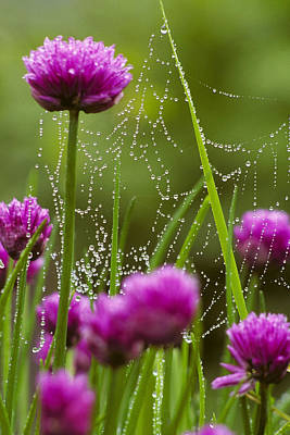 Dew Covered Spider Web On Chive Flowers Print by Marion Owen
