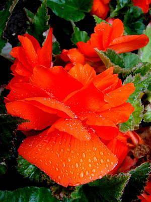 Dew Drops On Camellia Art Print