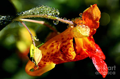 Dew Jewels On Jewelweed Art Print by Thomas R Fletcher