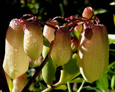 Photograph - Dew Kissed Pods by Pamela Walton