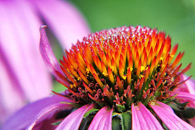 Photograph - Dew-laden Purple Cone Flower by Jason Politte