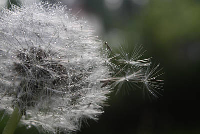 Photograph - Dew On Dandelion by Cathie Douglas